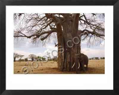 Elefante africano, fotos animales salvajes de Africa