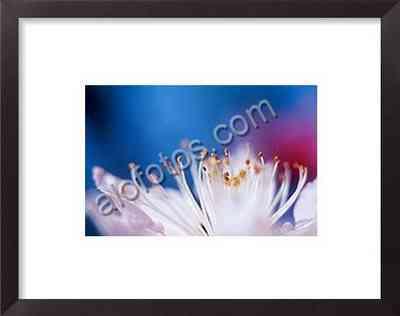 macrofotografía de flores, detalle de los estambres