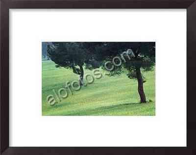 pinos piñoneros, paisaje natural con árboles