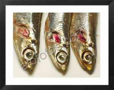 anchoas, fotos de boquerones, fotos de peces comestibles