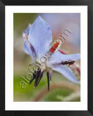 flores comestibles con propiedades medicinales, flor de borraja