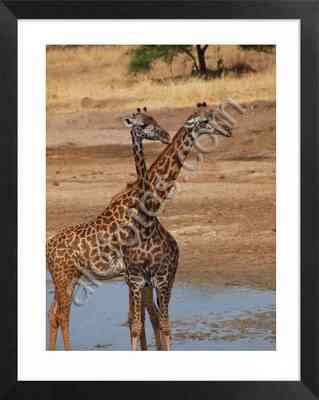 jirafas, imagen de animales salvajes en Africa