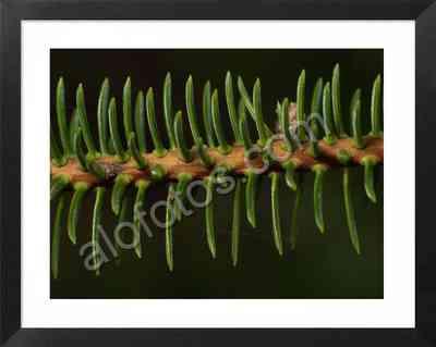 rama de pinsapo, textura natural