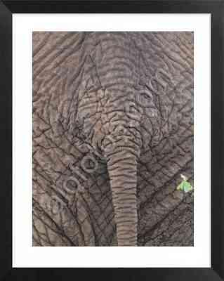Elefante africano, fotos animales peligrosos africanos