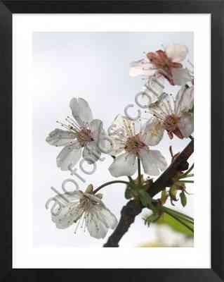 flores blancas de almendro en primavera