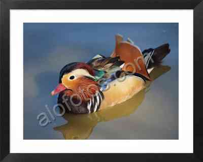 pato mandarín, fotos de aves acuáticas