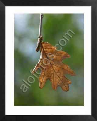 hoja de roble en otoño, fotos de tipos de hojas