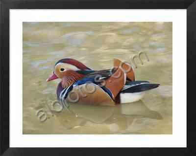 aves acuáticas de España, pato mandarín