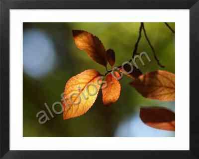 hojas de arboles ornamentales en otoño