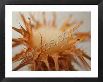 planta seca curativa medicinal del cardo mariano