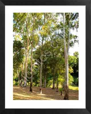Ficha de arbol. Eucalyptus camaldulensis. Eucalipto
