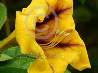 La solandra máxima tiene unas flores amarillas grandes