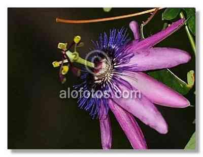 flores exoticas: flor de la Pasión